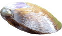 Purple Varnish Mahogany Clam